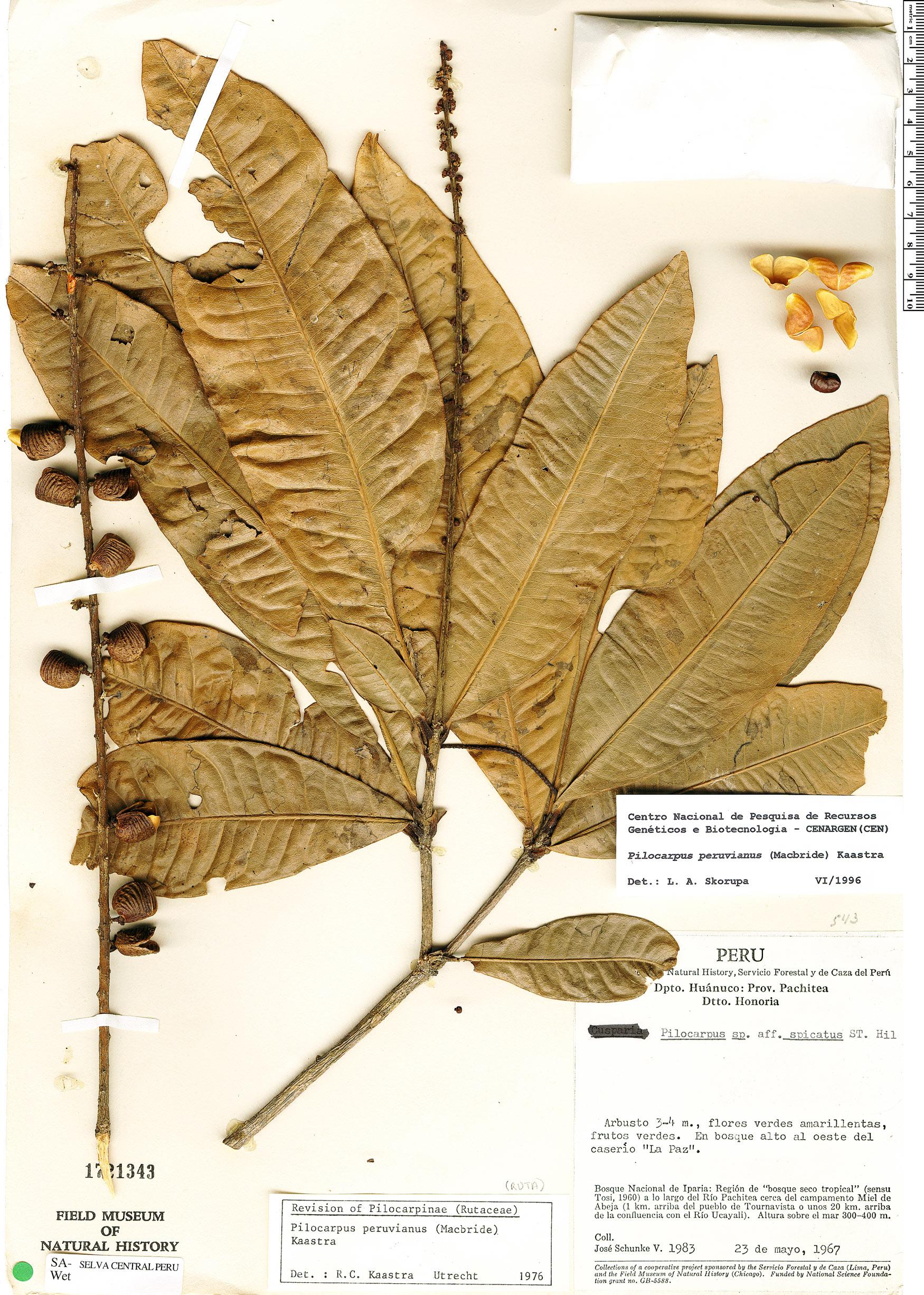 Specimen: Pilocarpus peruvianus