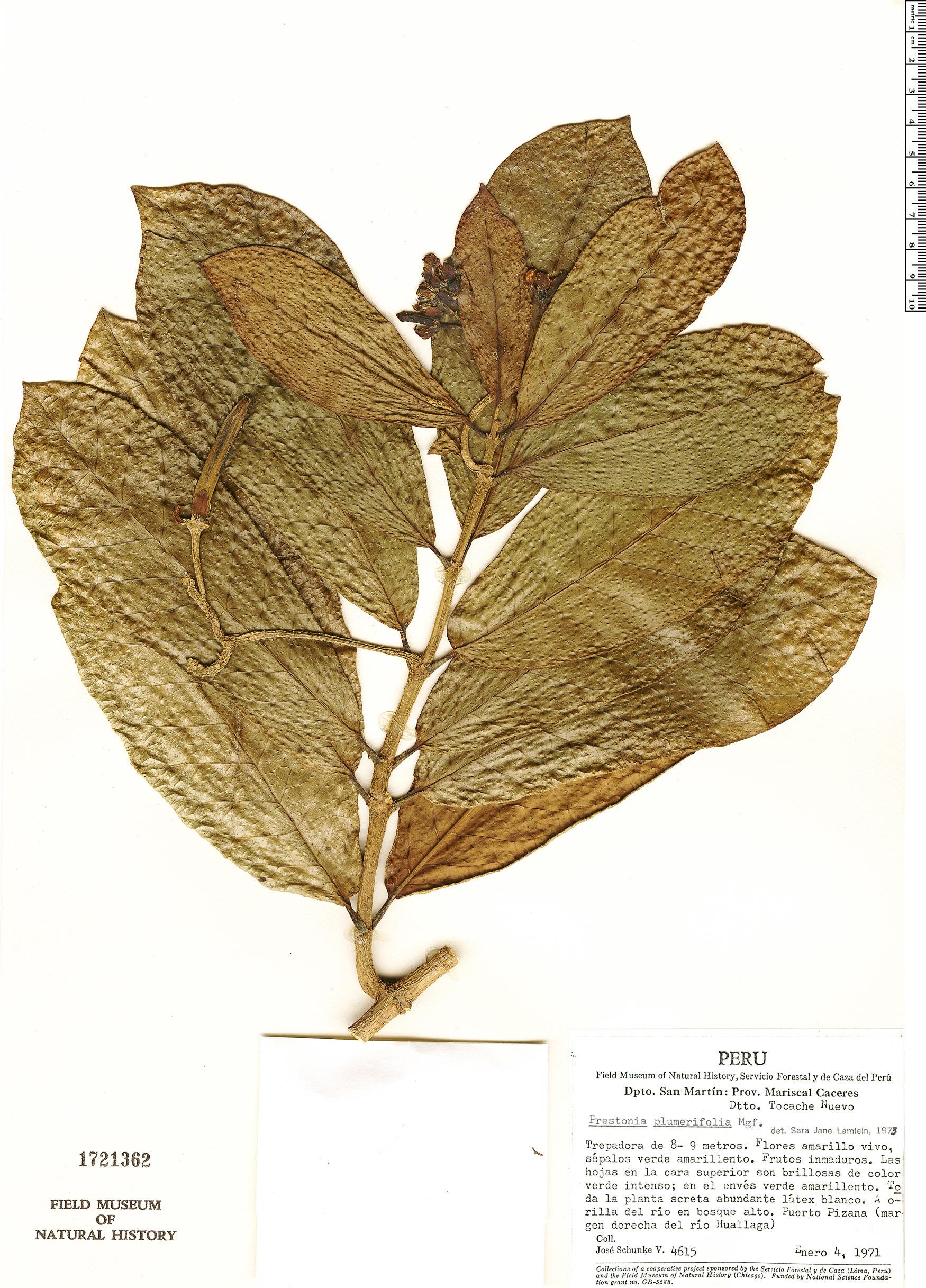 Specimen: Prestonia plumierifolia