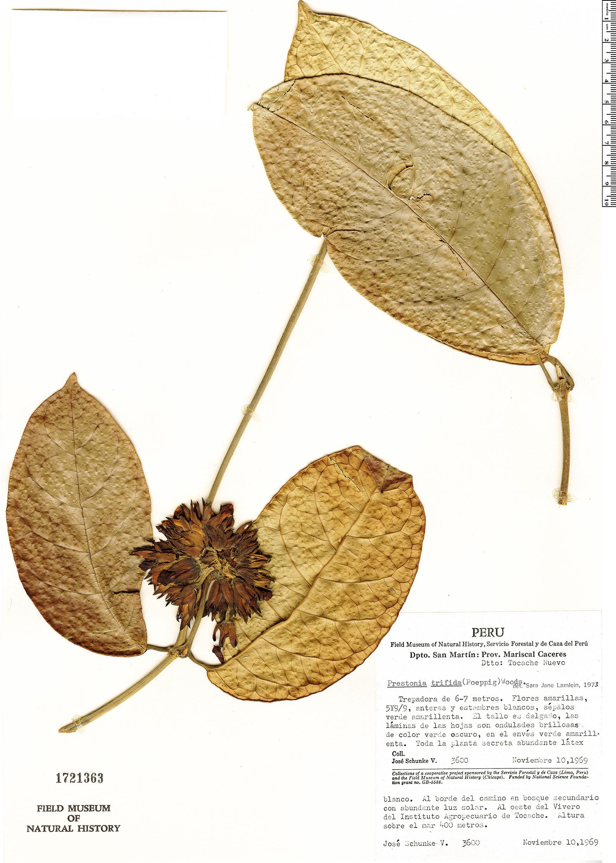 Espécimen: Prestonia trifida