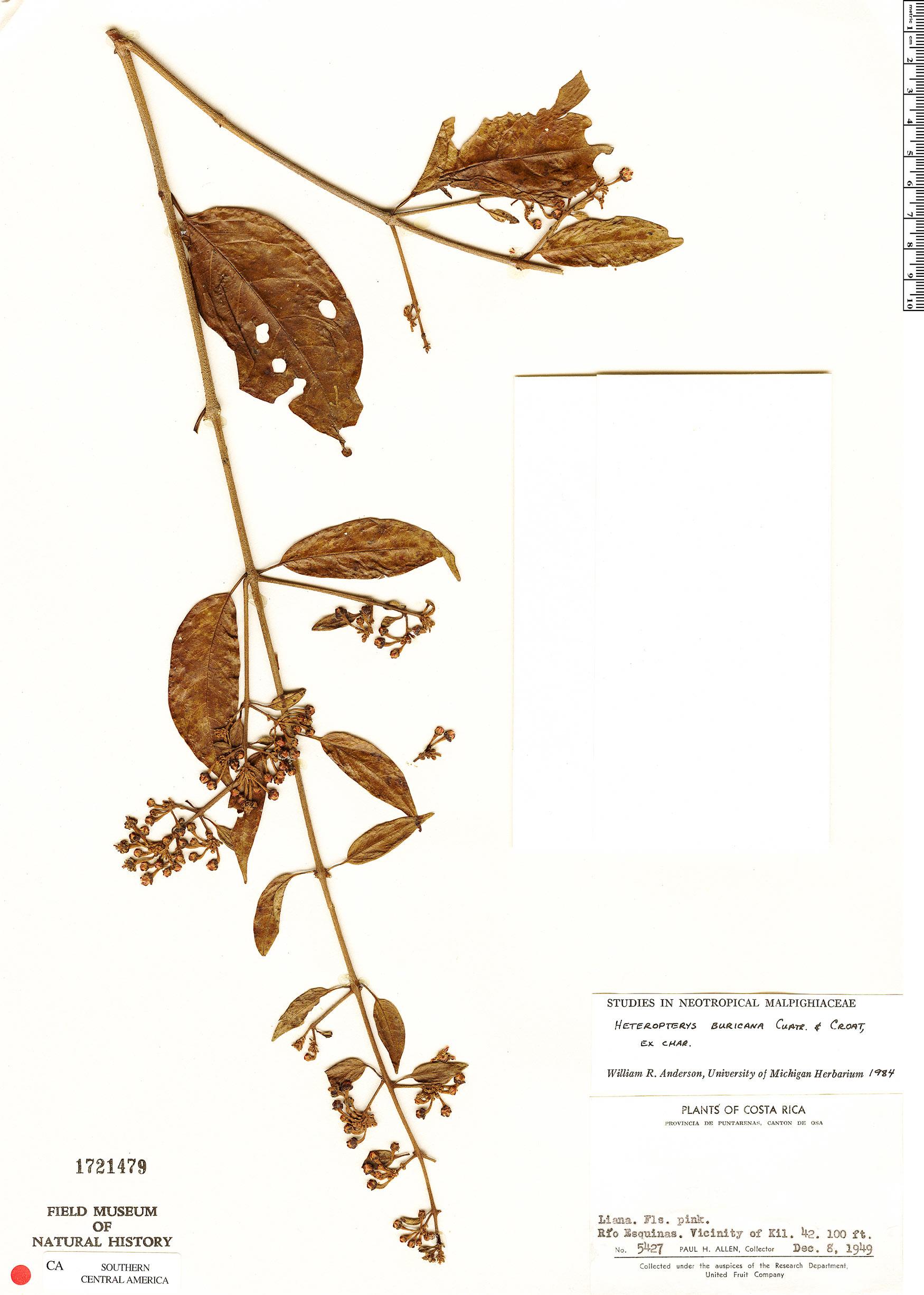Specimen: Heteropterys buricana