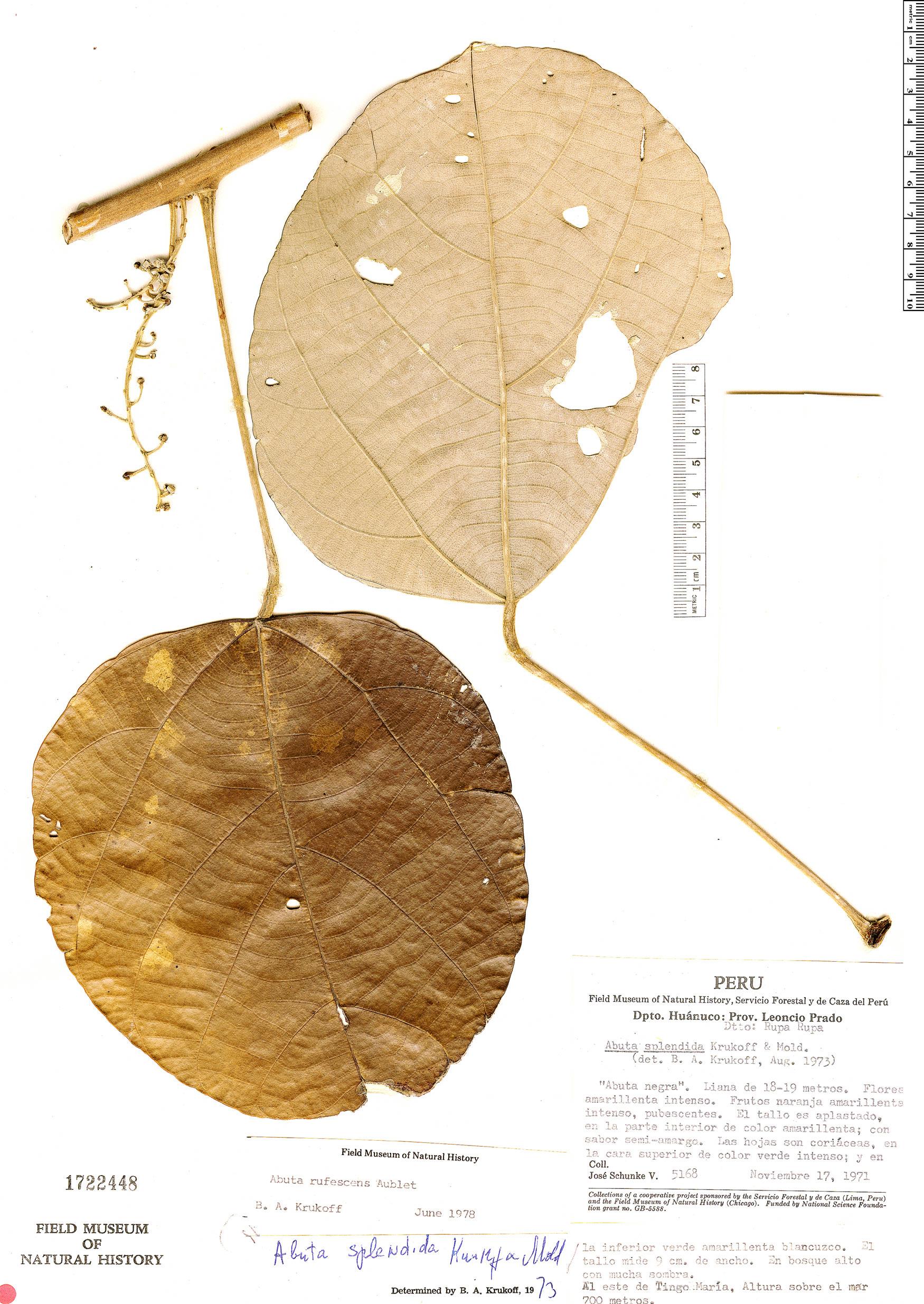 Espécime: Abuta rufescens
