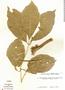 Paullinia exalata Radlk., Peru, J. Schunke Vigo 2636, F