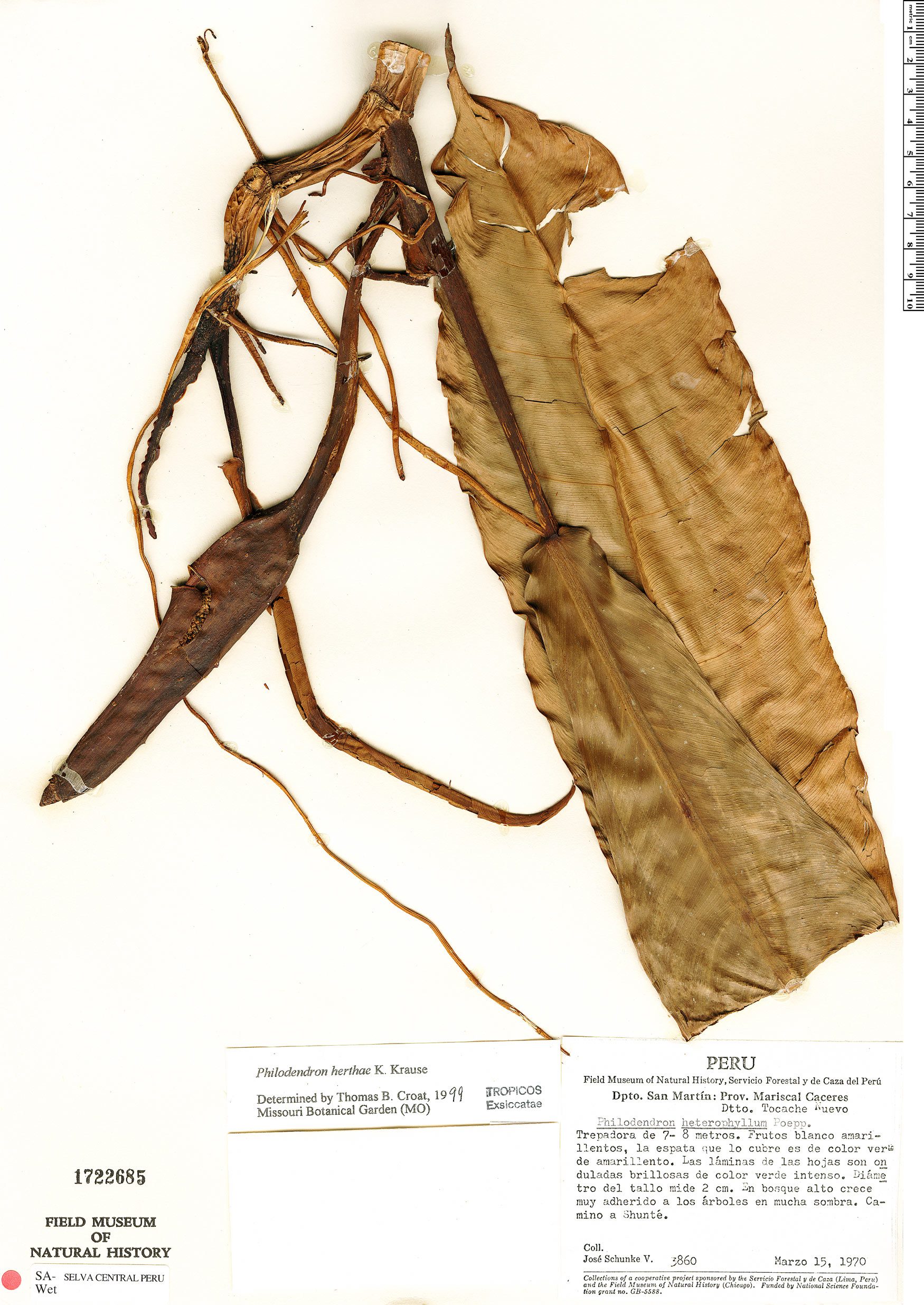 Specimen: Philodendron herthae