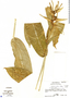Heliconia aurantiaca Ghiesbr., Guatemala, R. Tún 2304, F