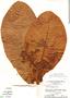 Virola decorticans Ducke, Brazil, P. J. M. Maas 12796, F