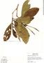 Kutchubaea semisericea Ducke, Peru, S. T. McDaniel 16191, F
