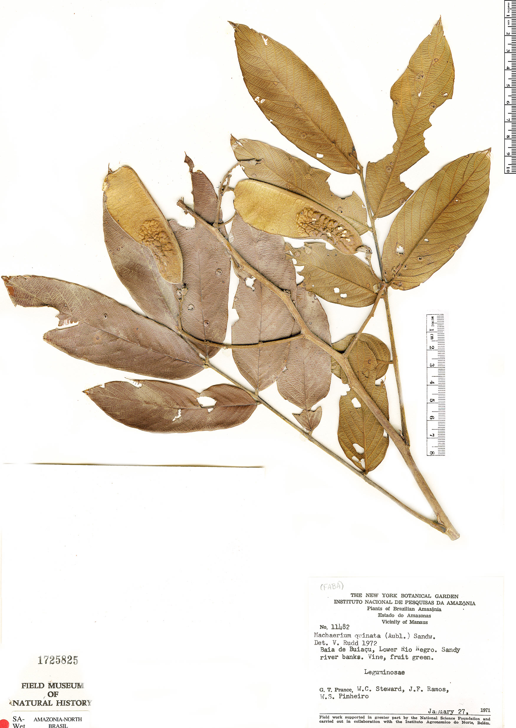Specimen: Machaerium quinata