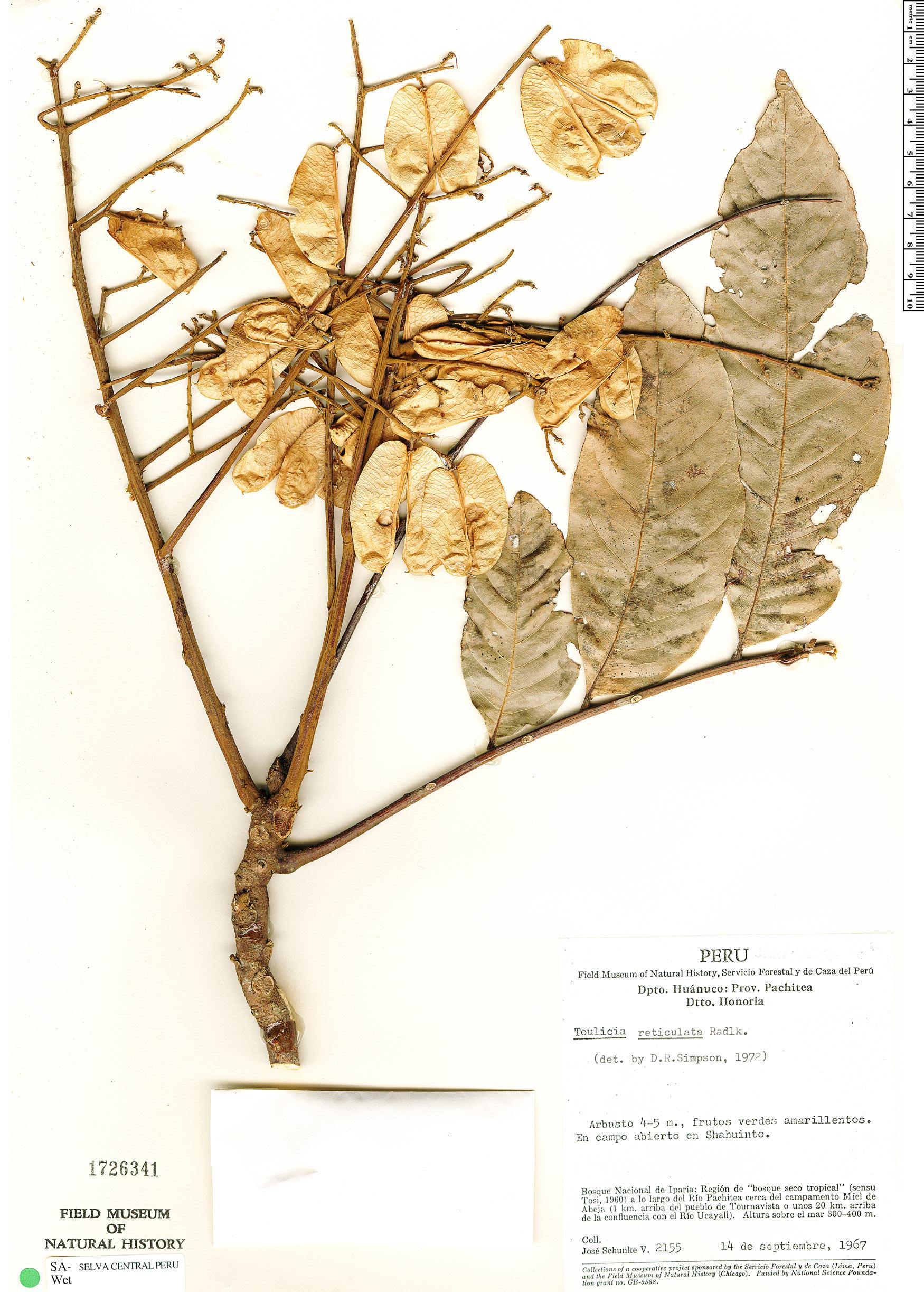 Specimen: Toulicia reticulata