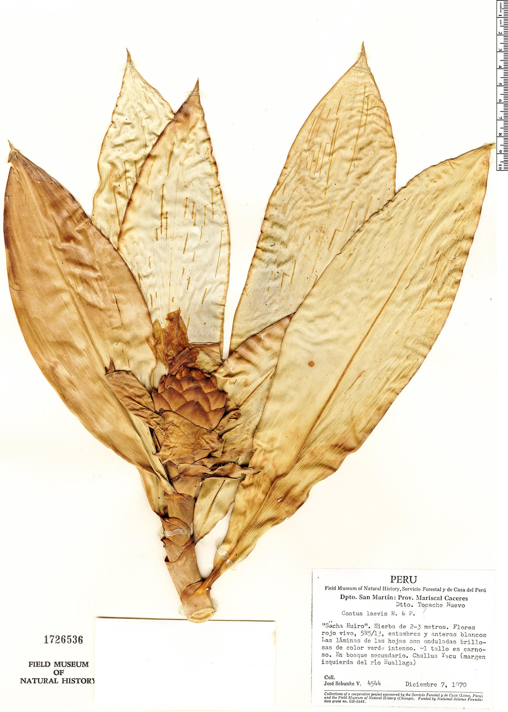 Specimen: Costus laevis