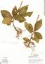 Triolena amazonica (Pilg.) Wurdack, Peru, S. T. McDaniel 11199, F