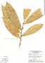 Naucleopsis krukovii, Brazil, G. T. Prance 12467, F