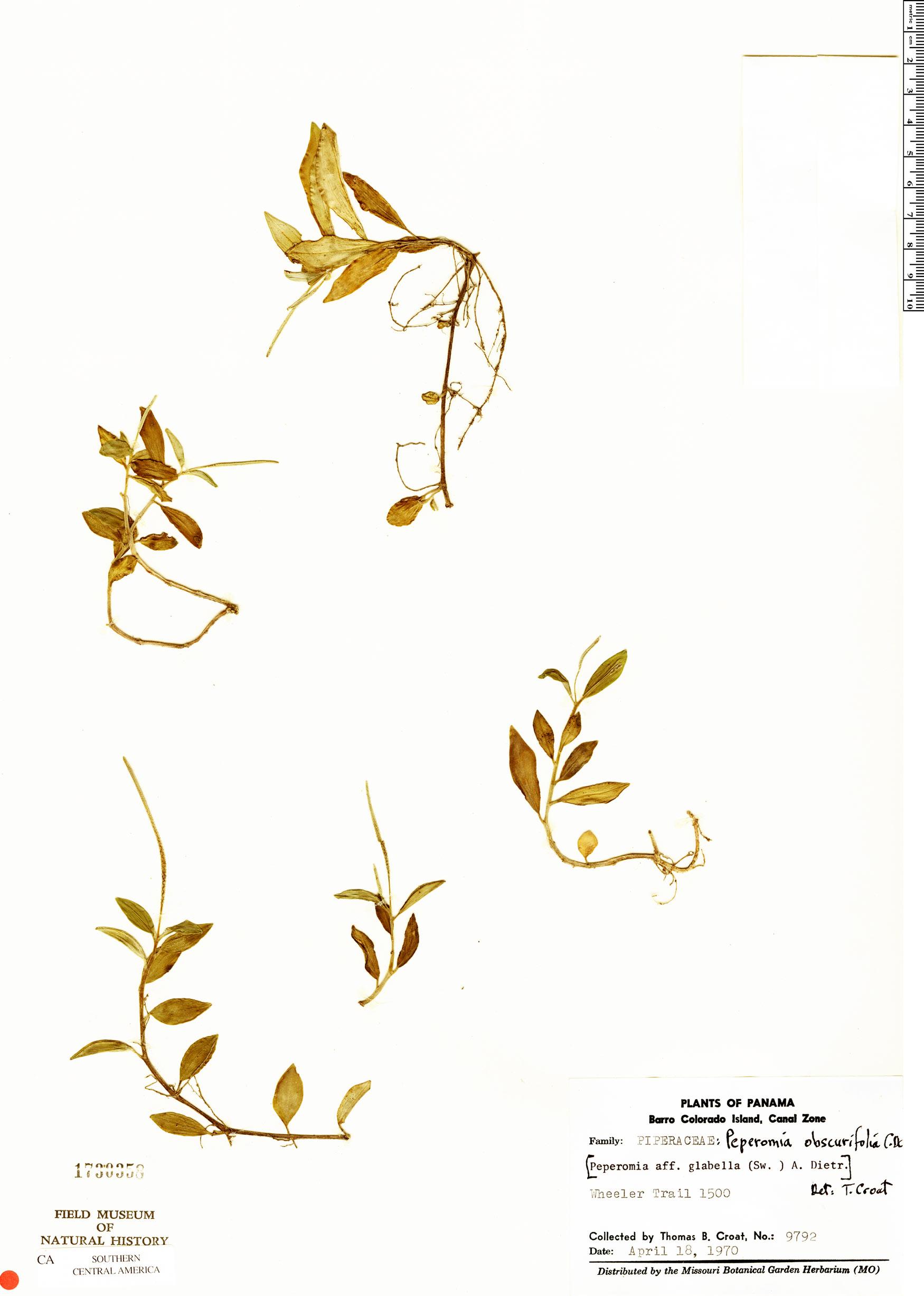 Specimen: Peperomia obscurifolia