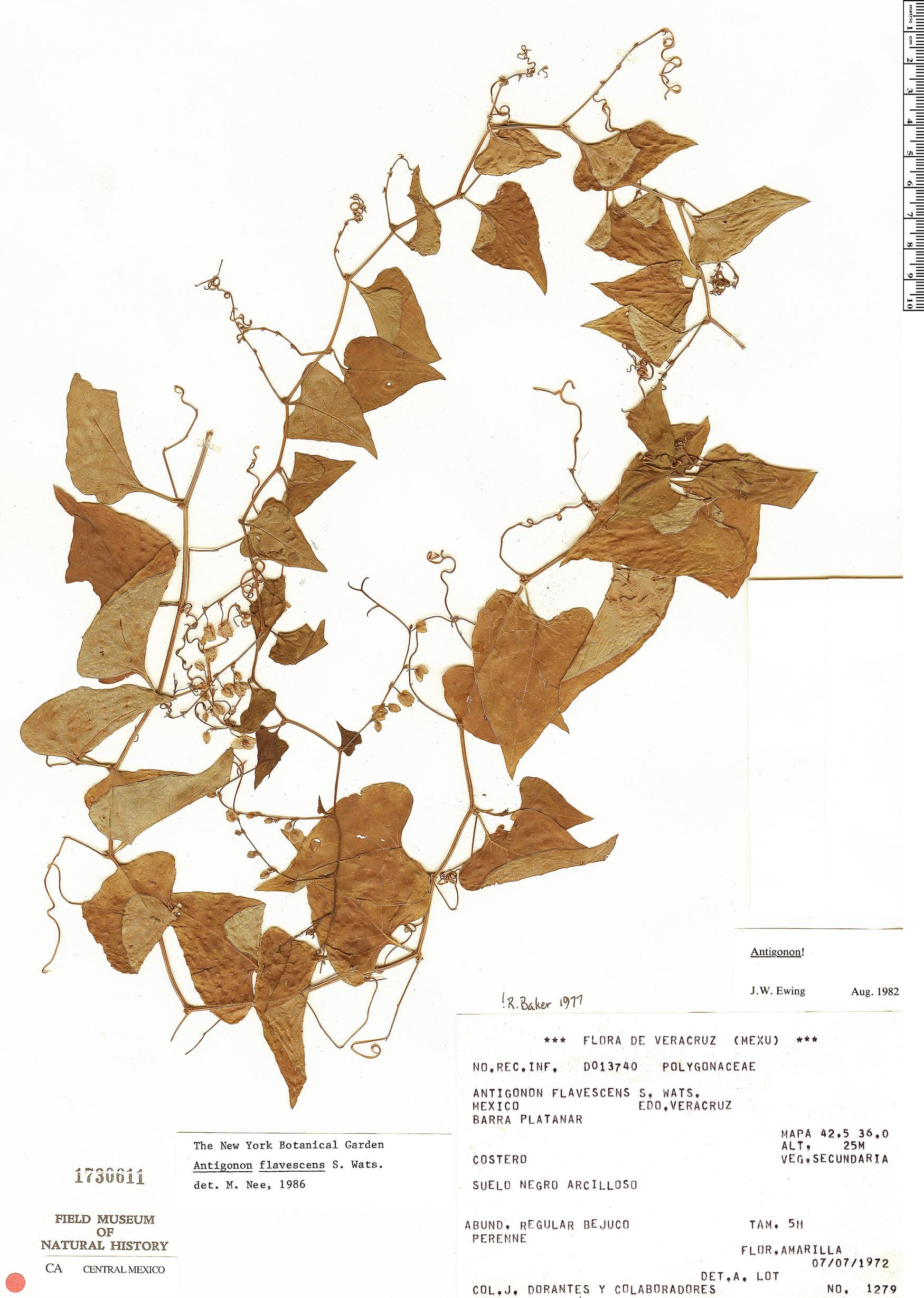 Specimen: Antigonon flavescens
