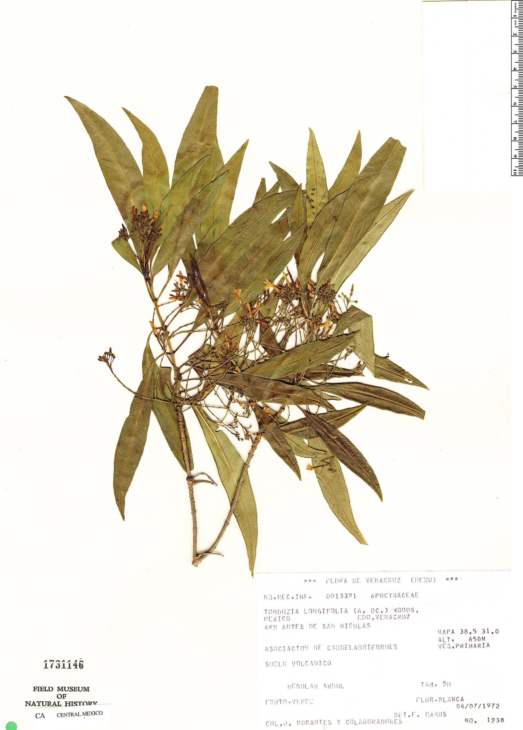Specimen: Tonduzia stenophylla