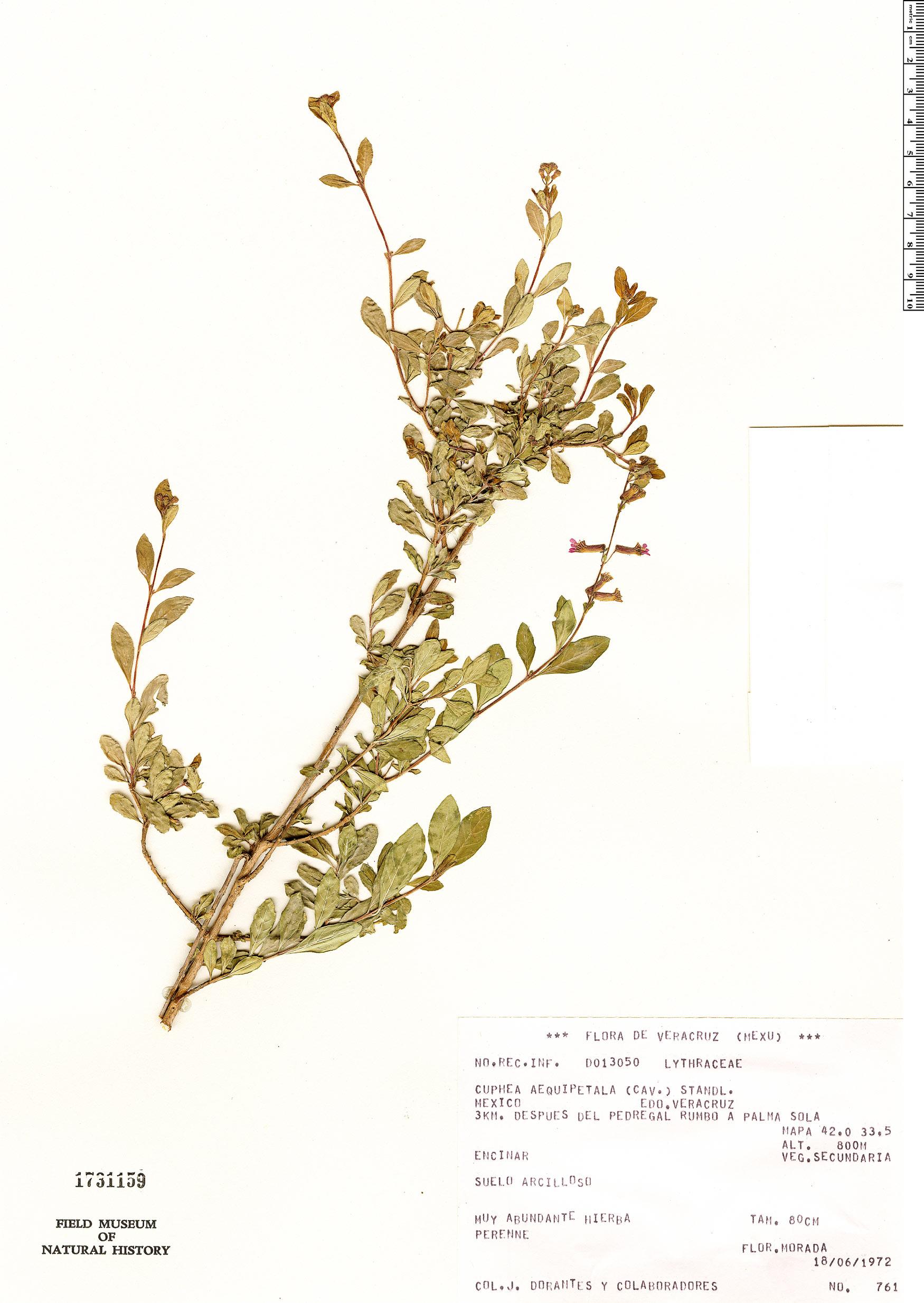 Specimen: Cuphea aequipetala
