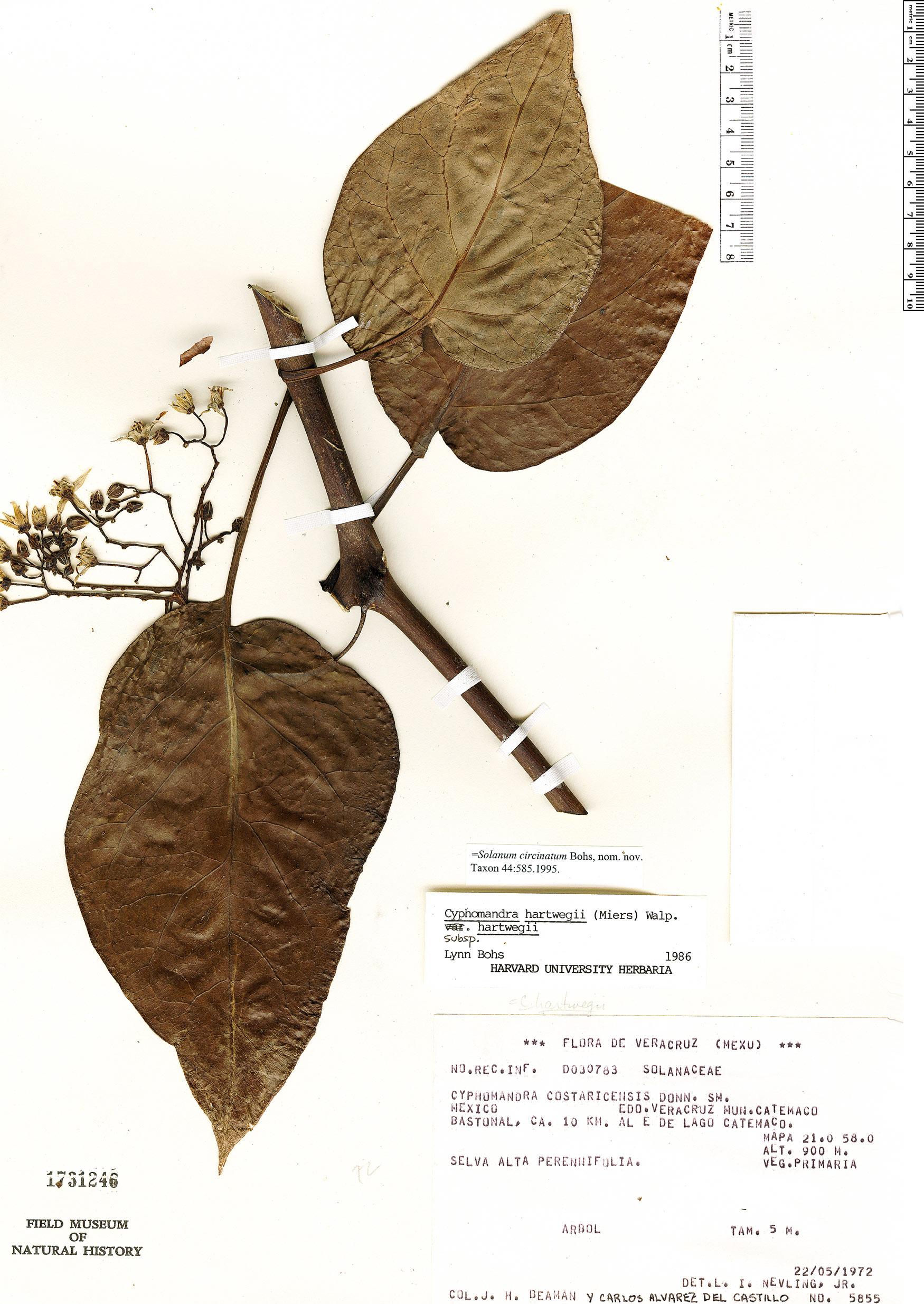 Specimen: Solanum splendens