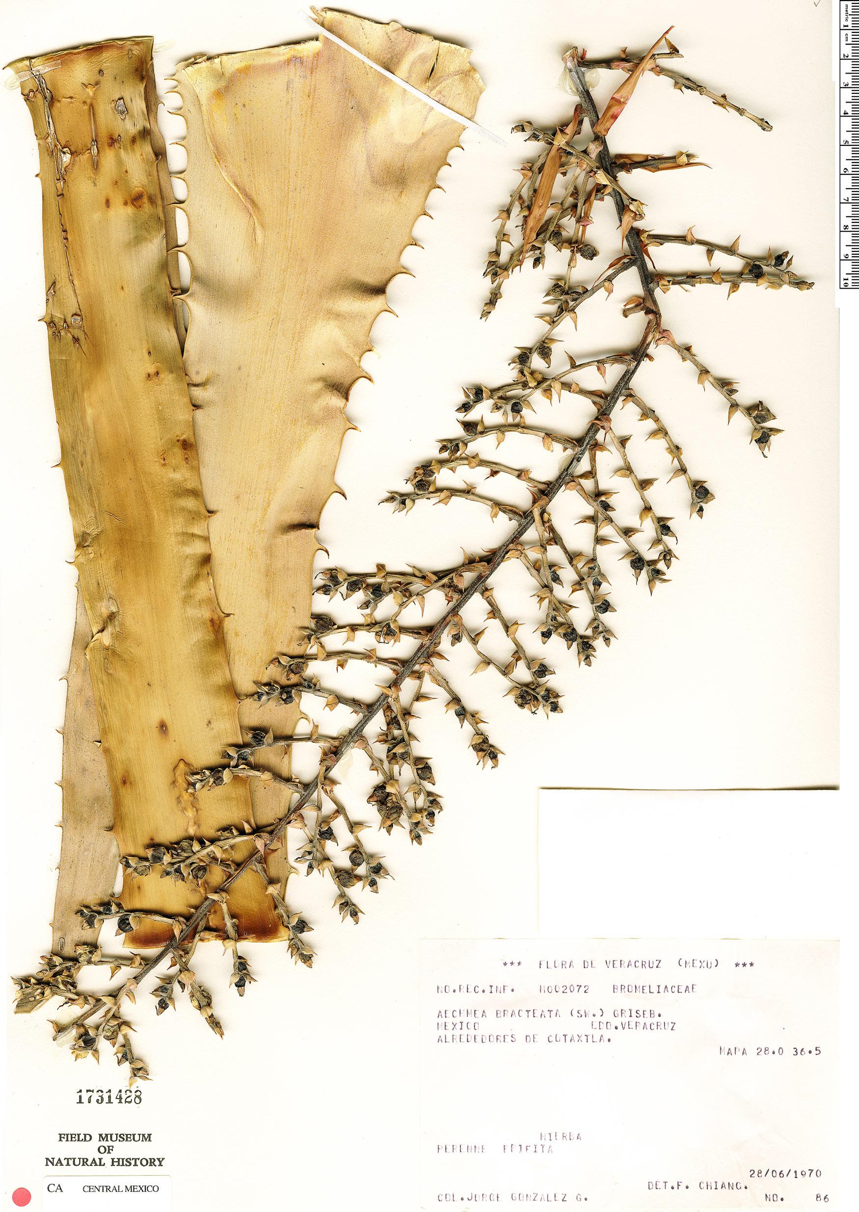 Espécime: Aechmea bracteata