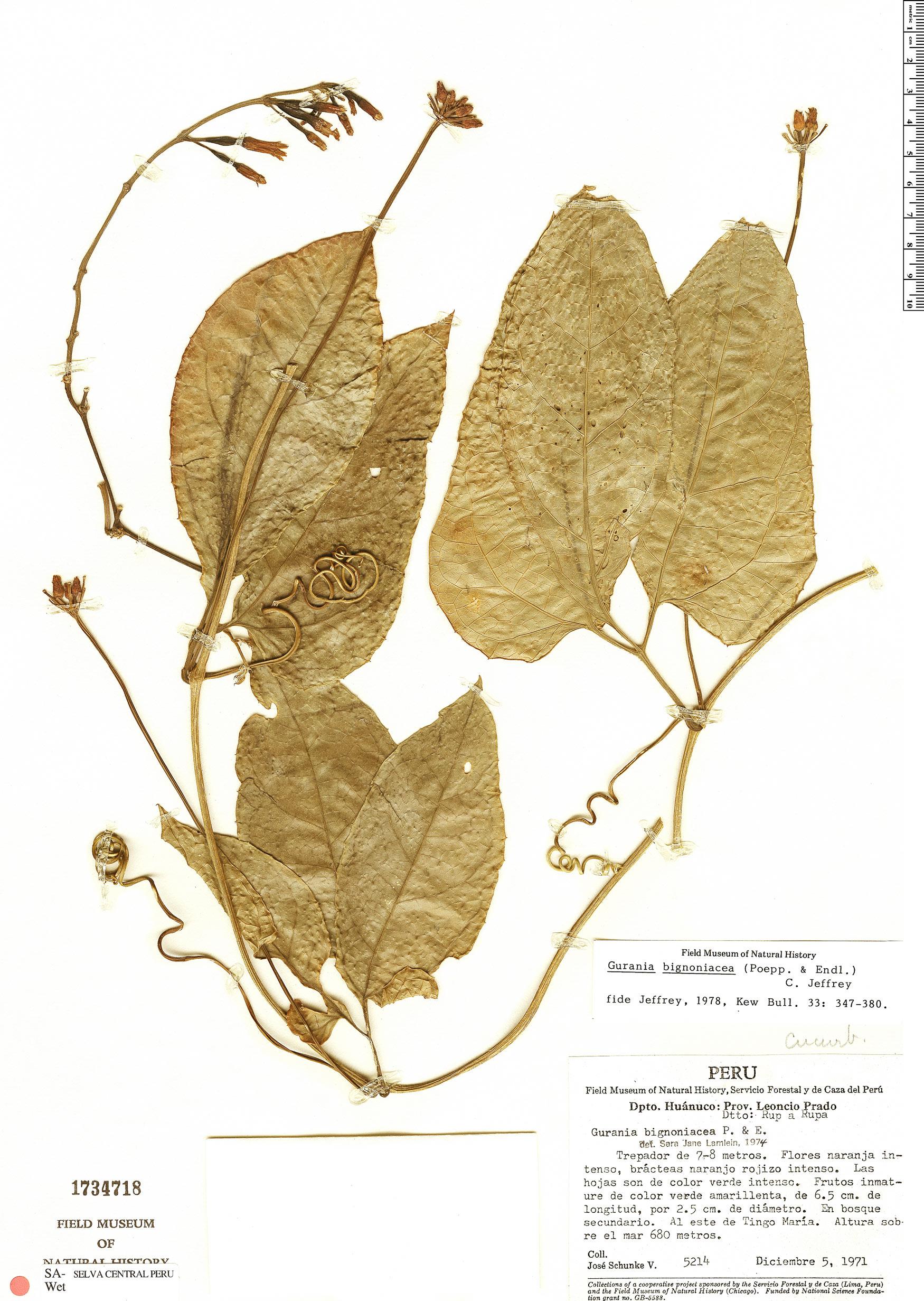 Specimen: Gurania bignoniacea