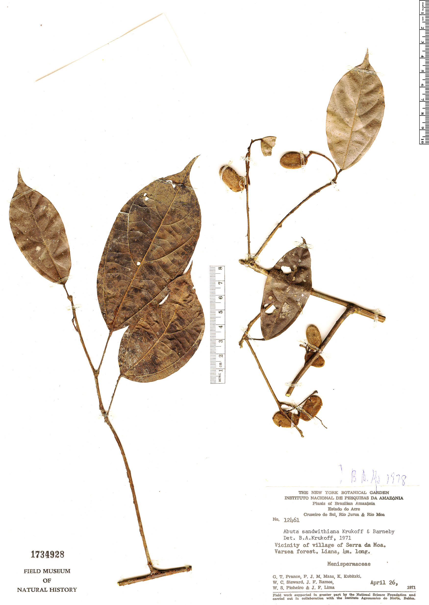 Espécime: Abuta sandwithiana