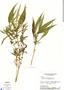 Hygrophila costata Nees, Brazil, H. S. Irwin 26260, F