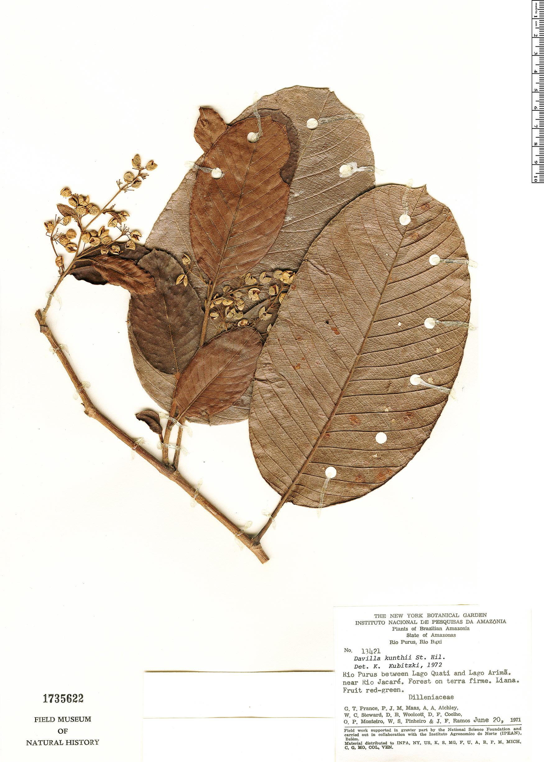 Espécime: Davilla kunthii