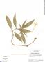 Hygrophila costata Nees, Brazil, H. S. Irwin 15122, F
