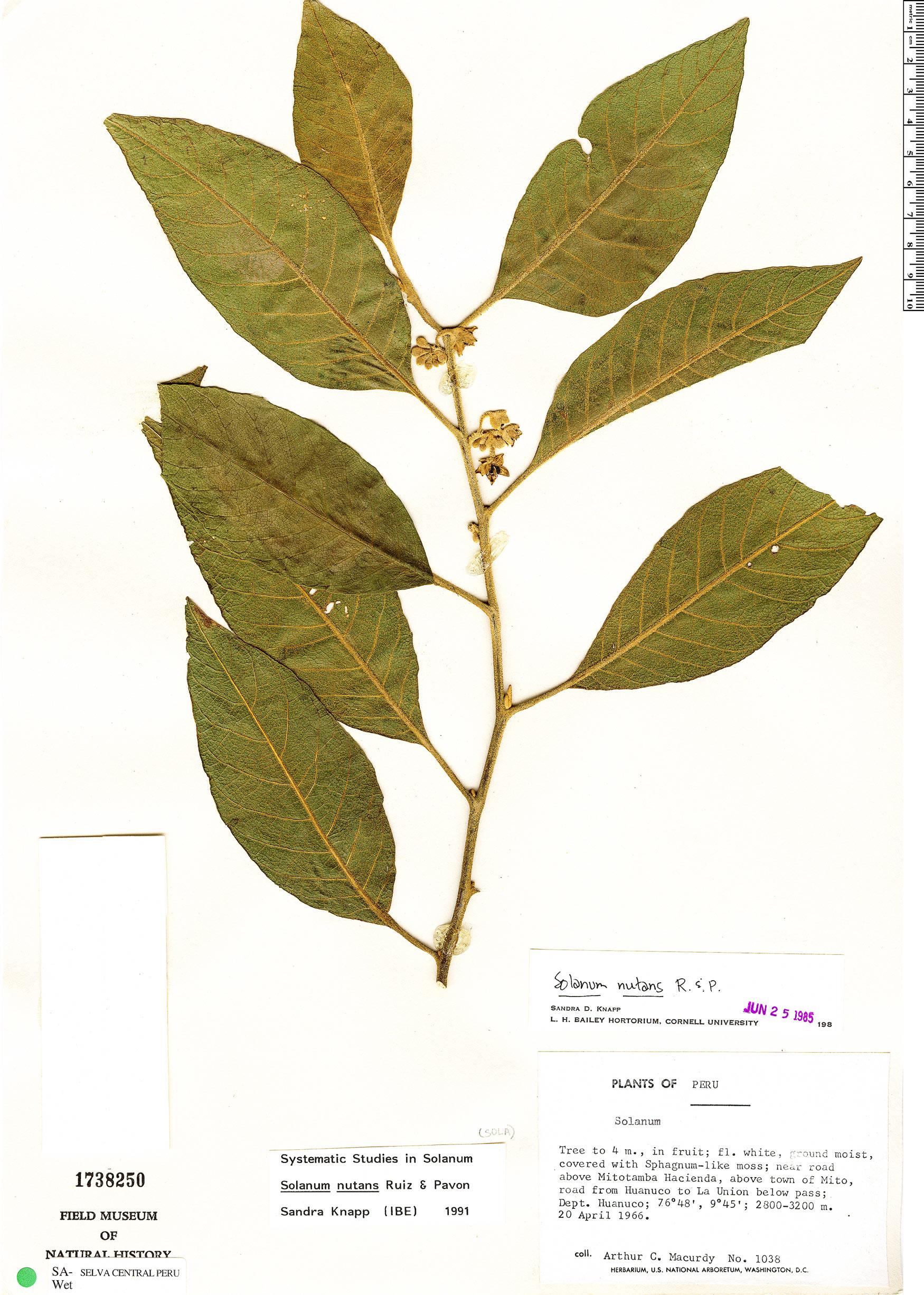 Specimen: Solanum nutans