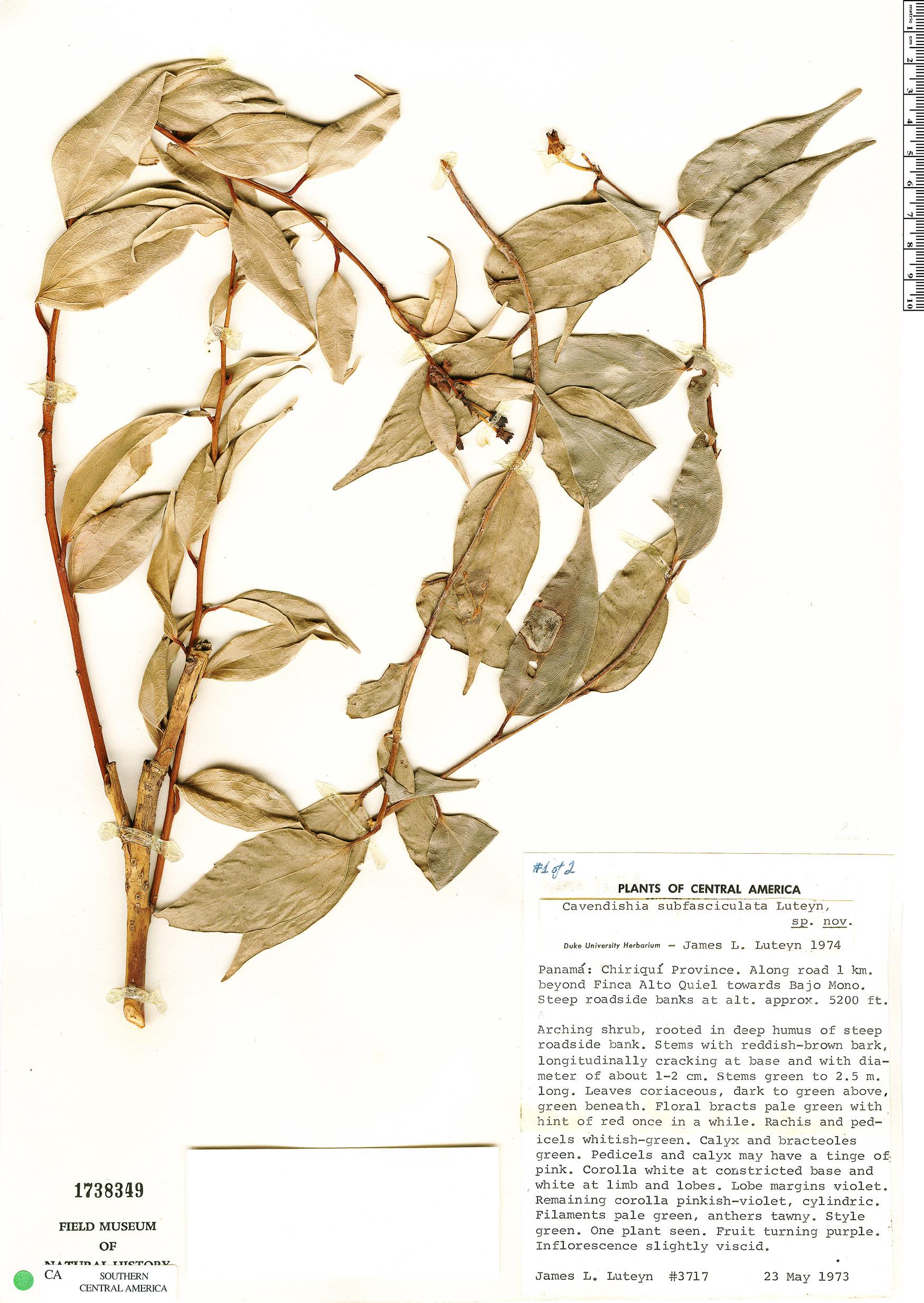 Specimen: Cavendishia subfasciculata