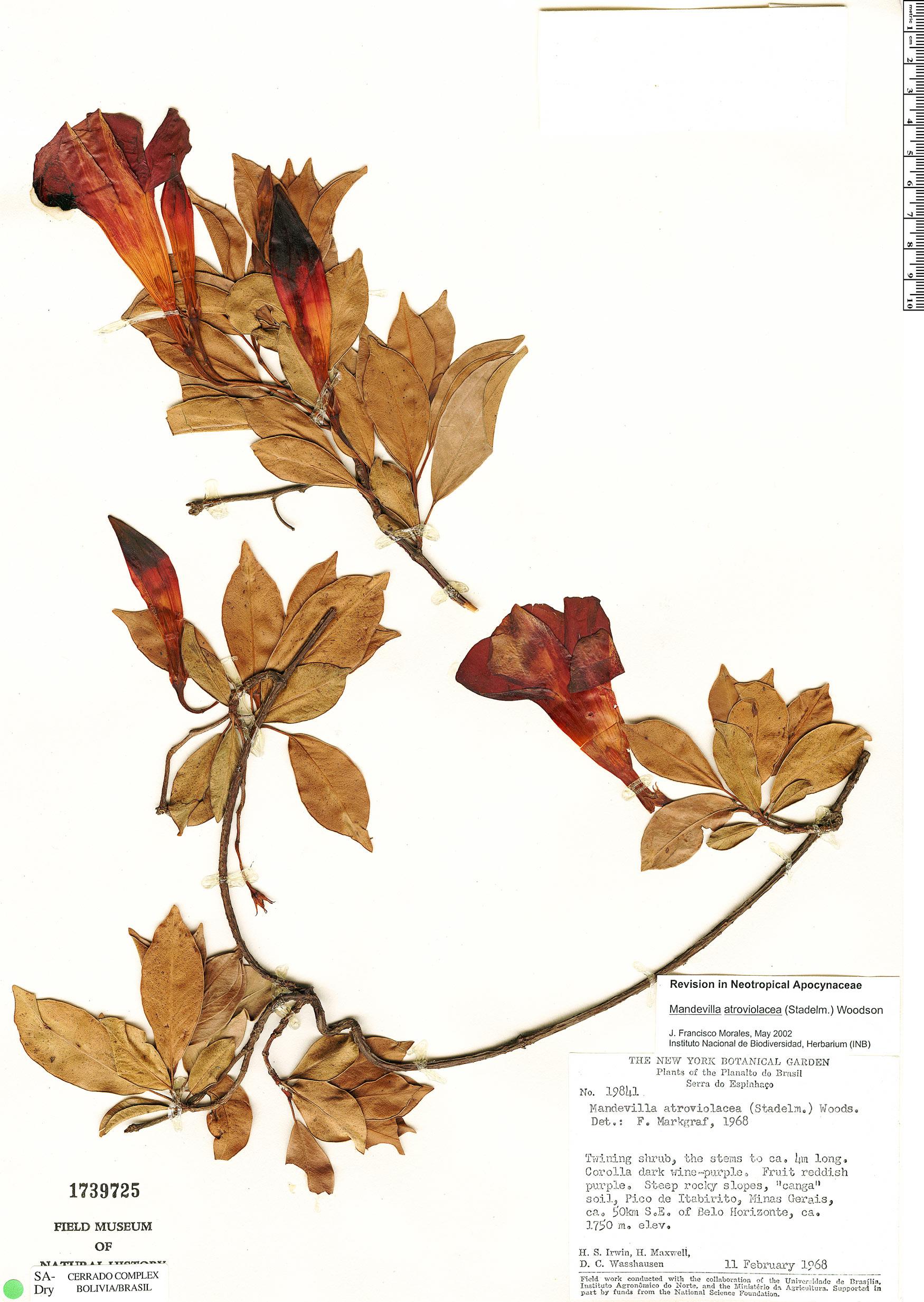 Specimen: Mandevilla atroviolacea