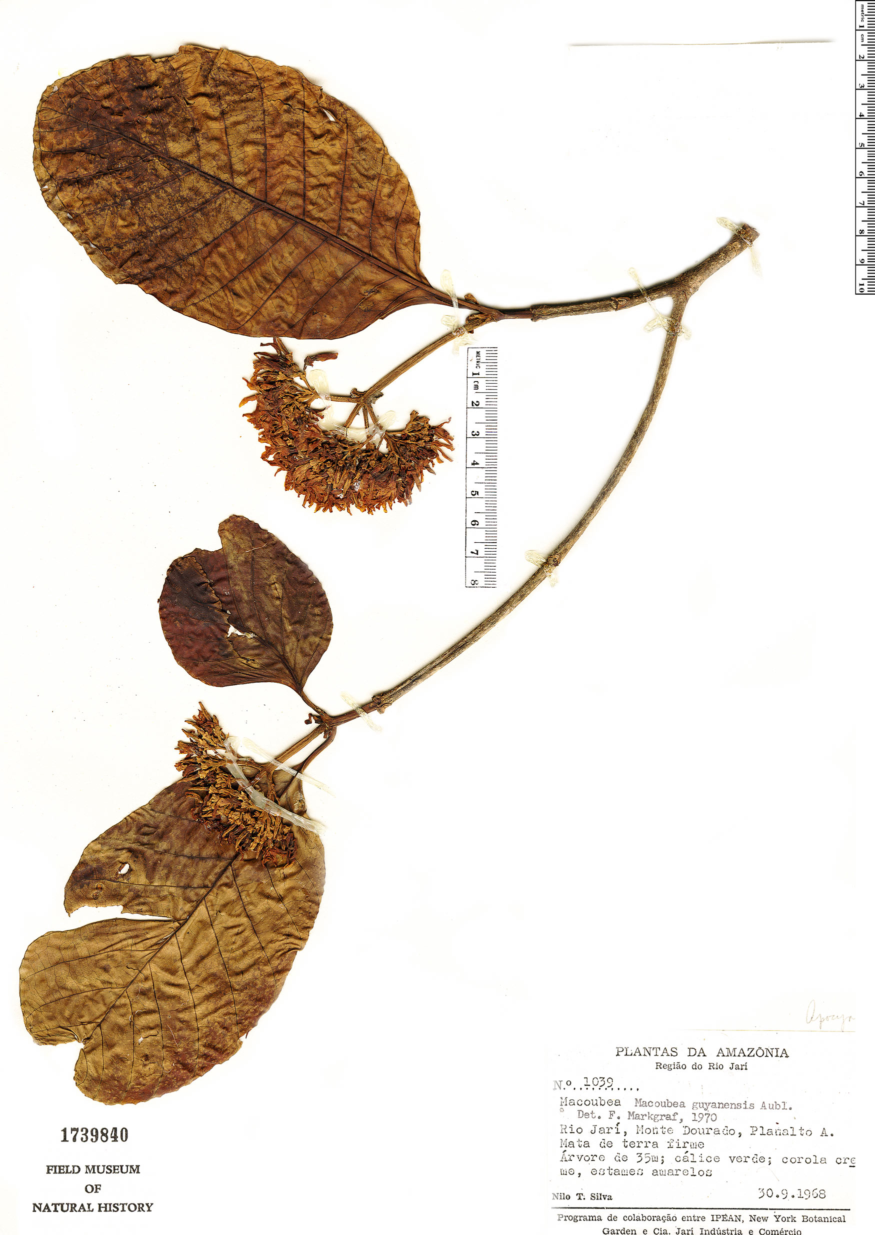 Specimen: Macoubea guianensis