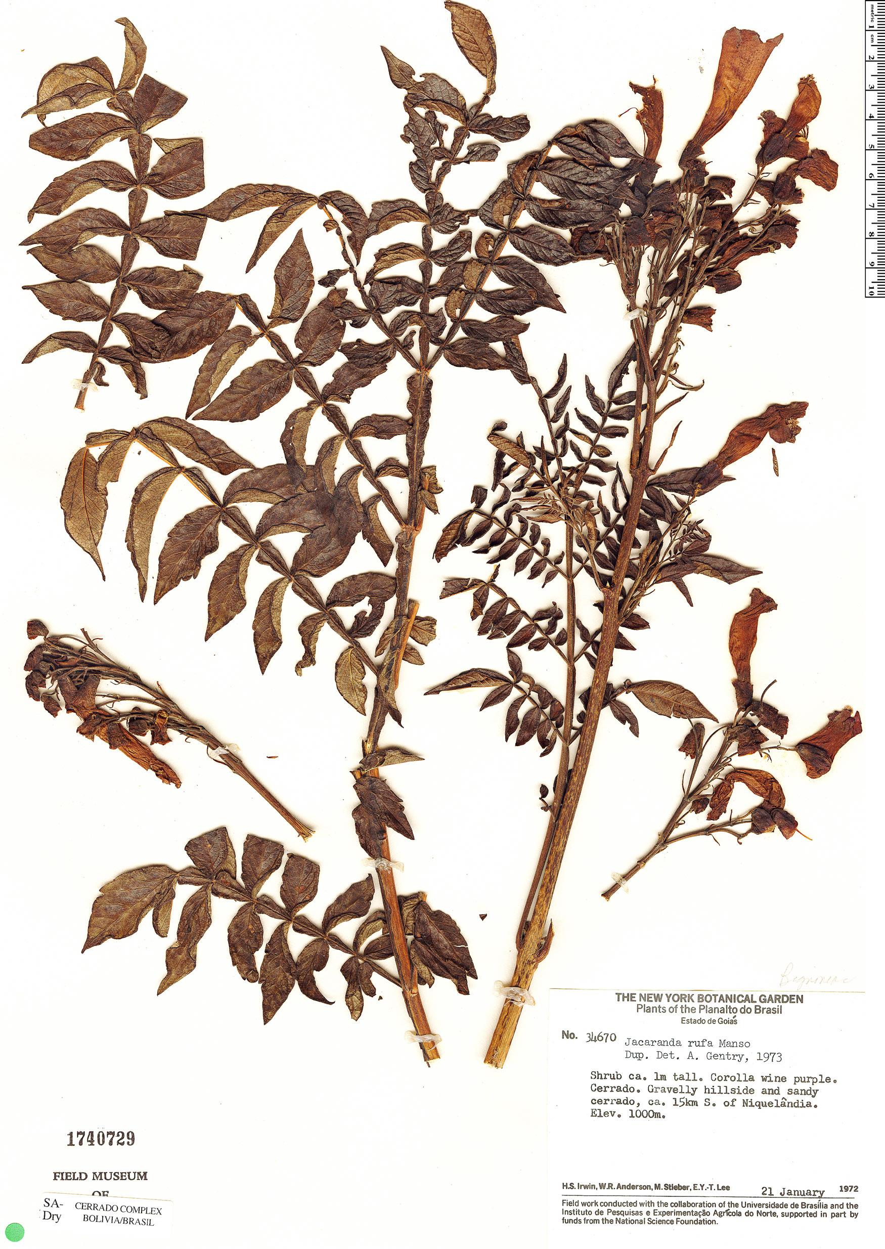 Specimen: Jacaranda rufa