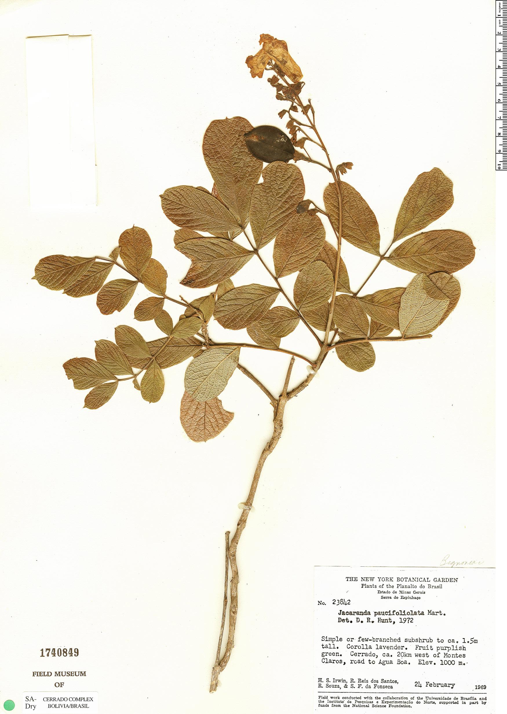 Specimen: Jacaranda paucifoliolata