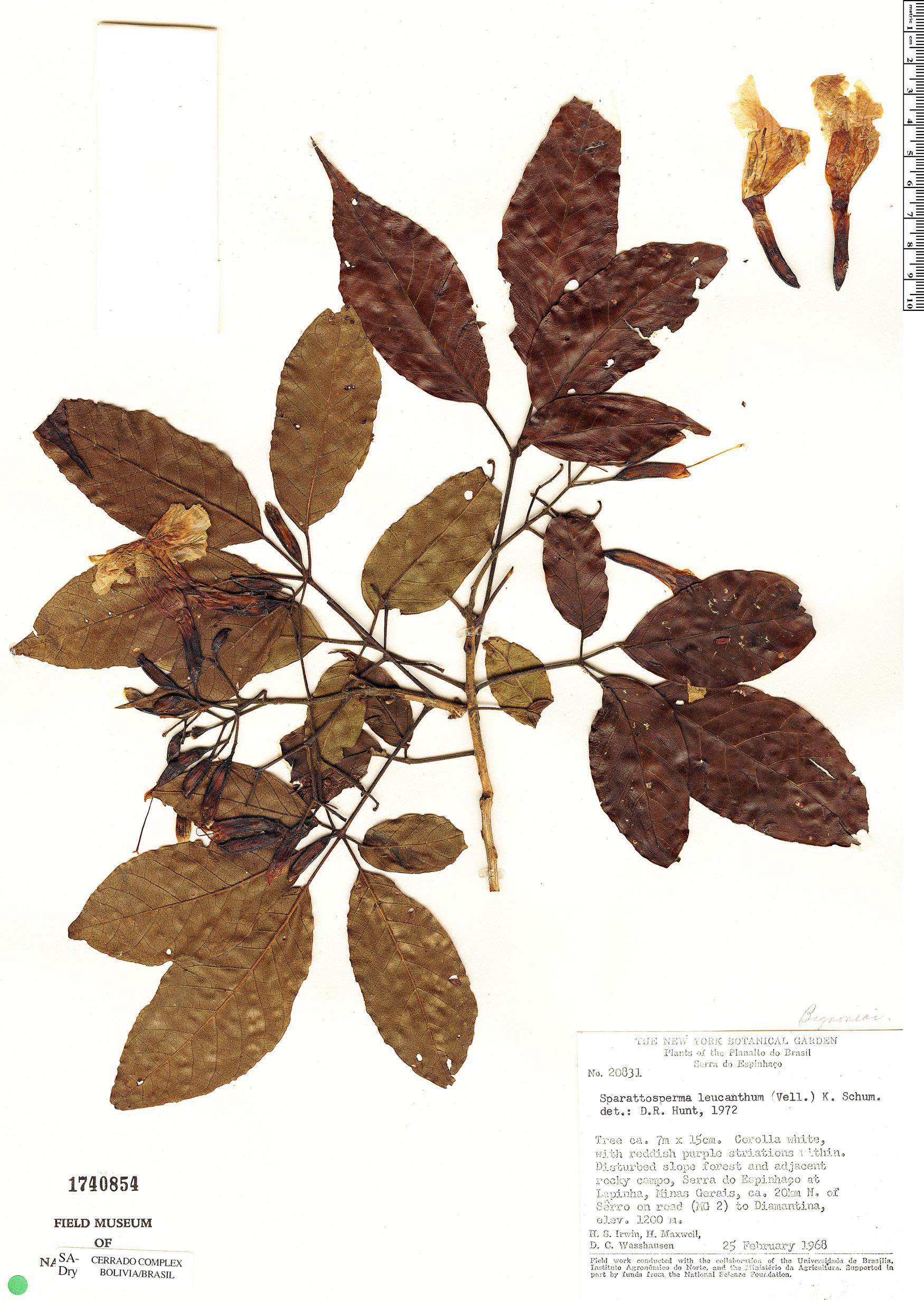 Specimen: Sparattosperma leucanthum