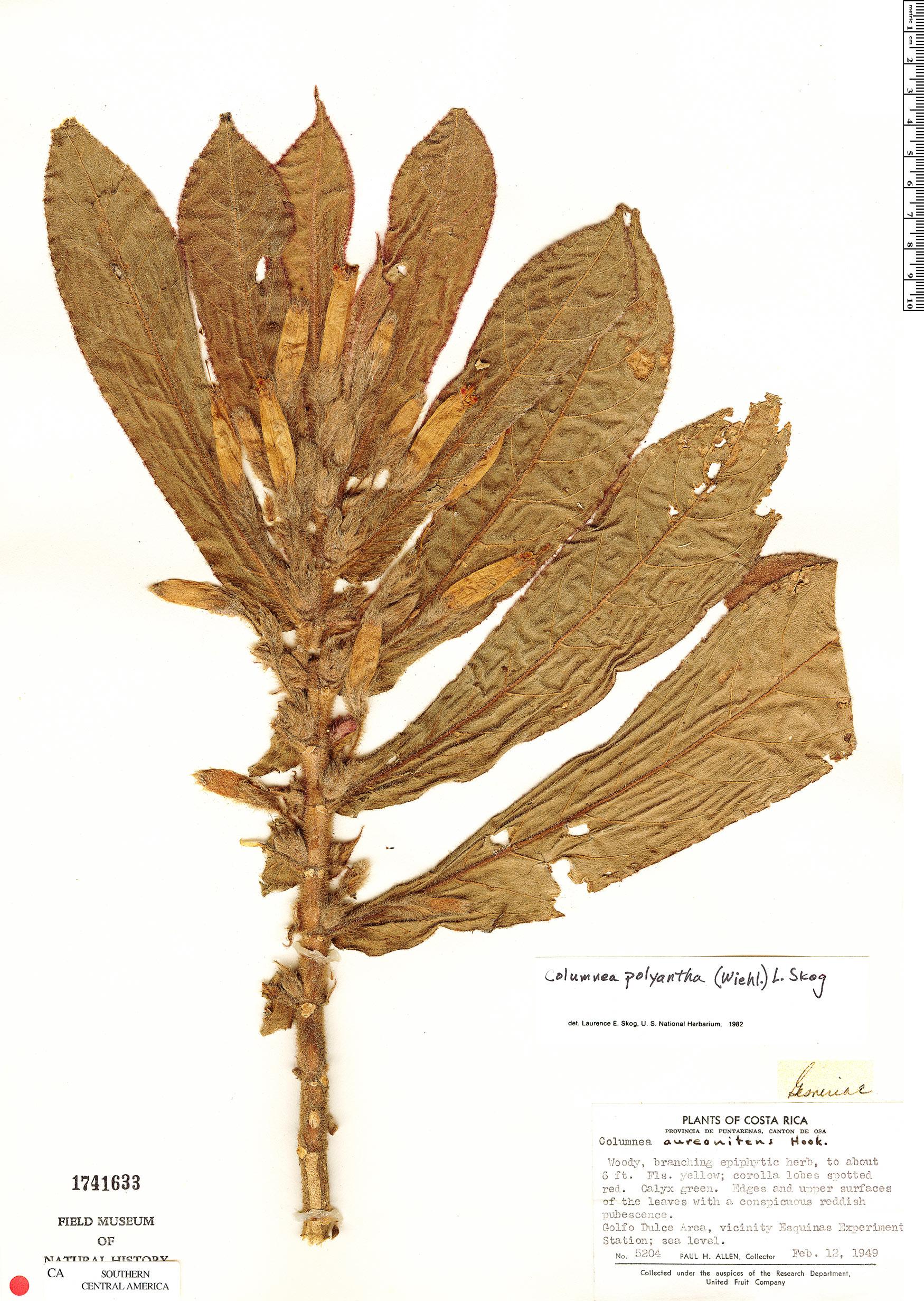 Espécime: Columnea polyantha