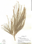 Casuarina equisetifolia L., Panama, L. Carvalho 262, F