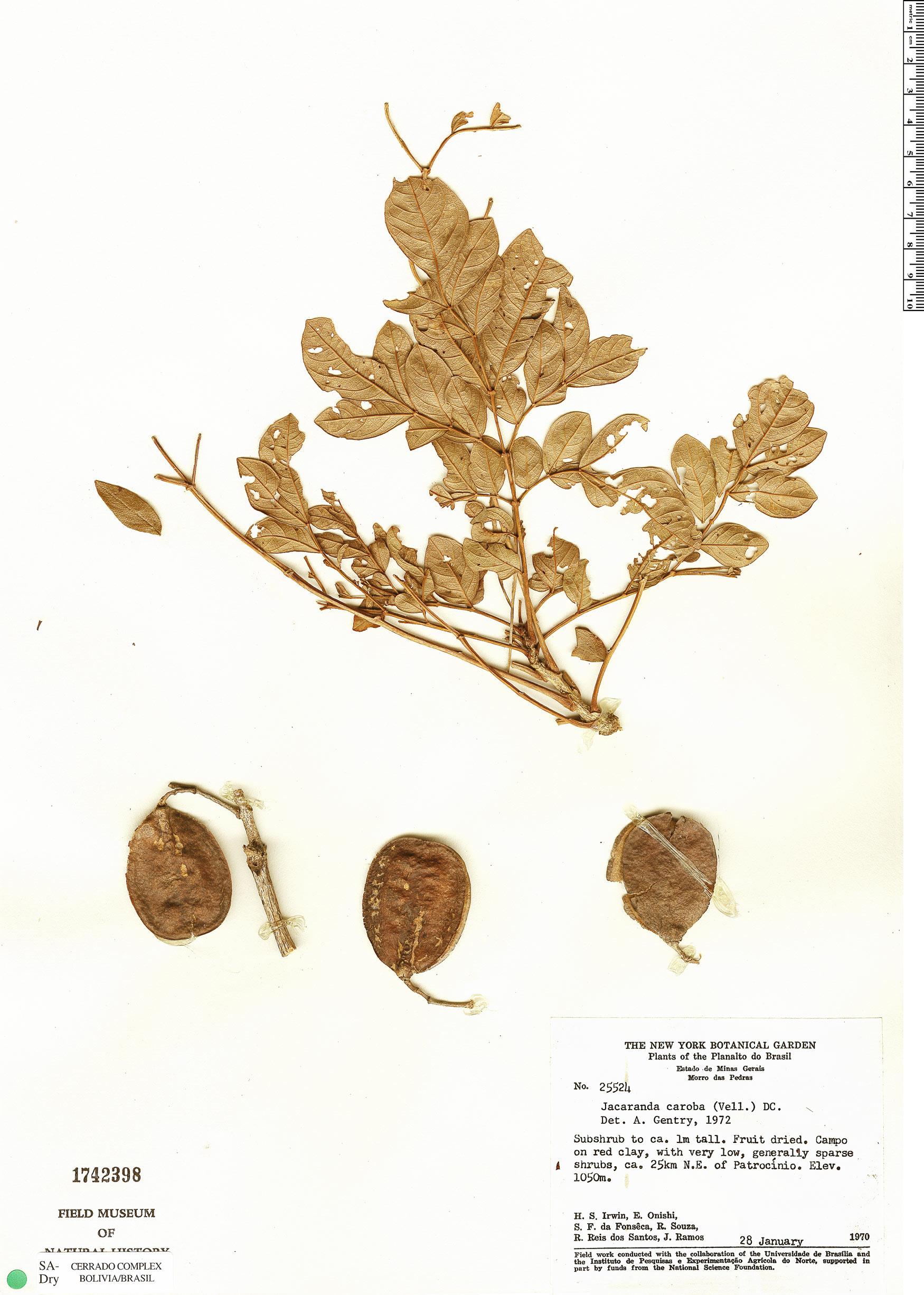 Specimen: Jacaranda caroba