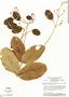 Jacaranda simplicifolia Schum., Brazil, H. S. Irwin 14597, F