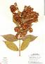 Combretum fruticosum (Loefl.) Stuntz, Panama, T. B. Croat 7947, F