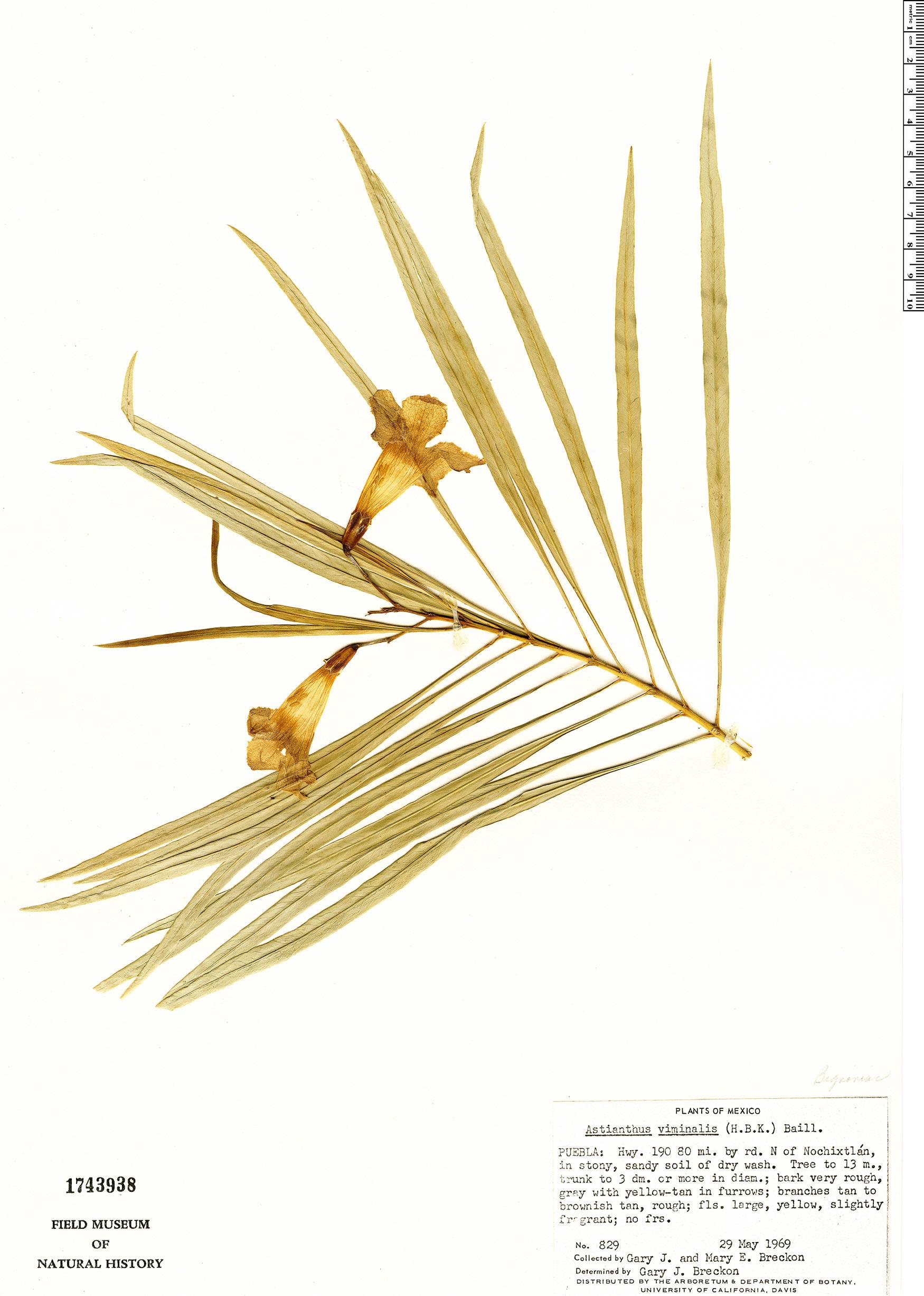 Specimen: Astianthus viminalis