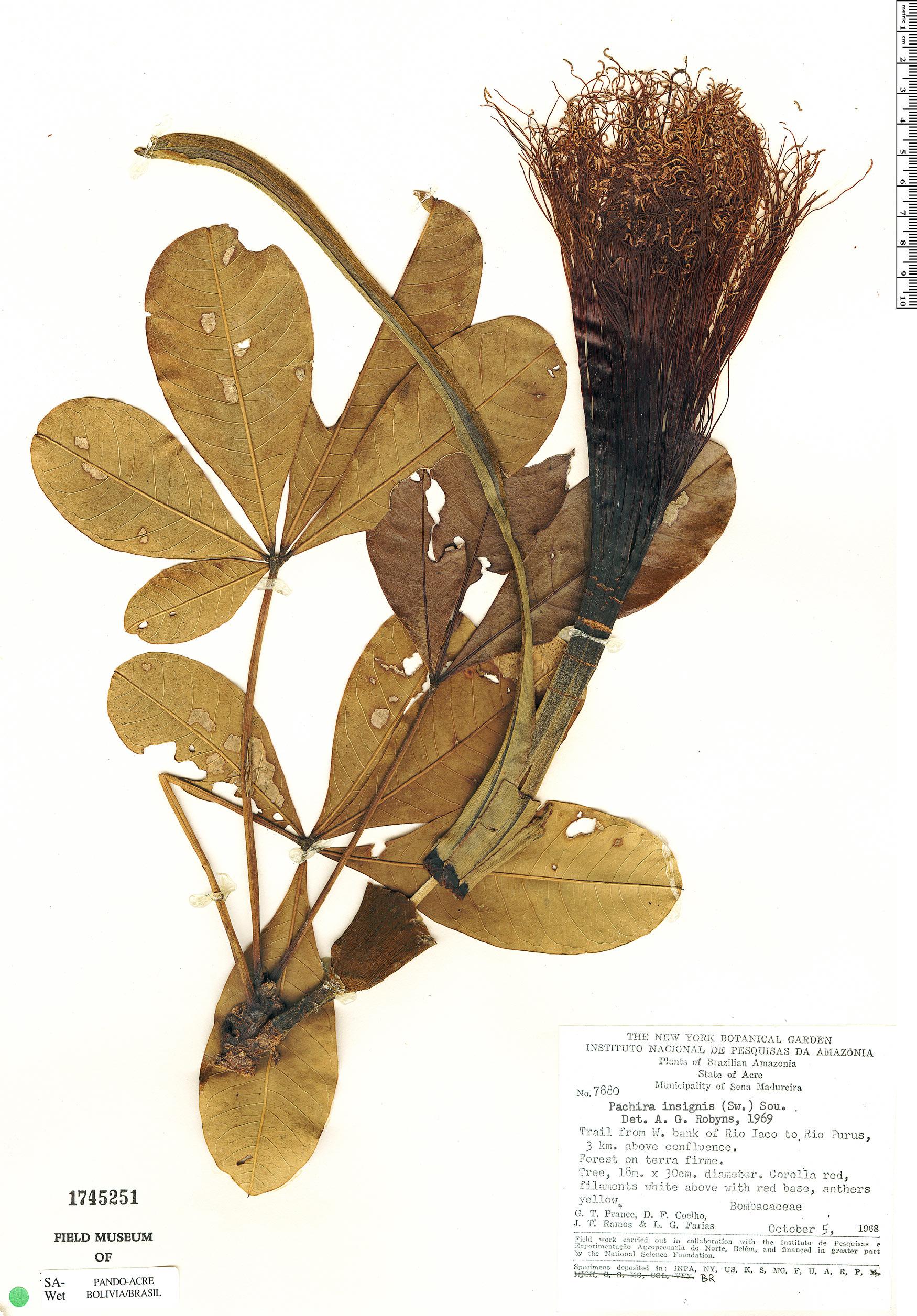 Espécimen: Pachira insignis