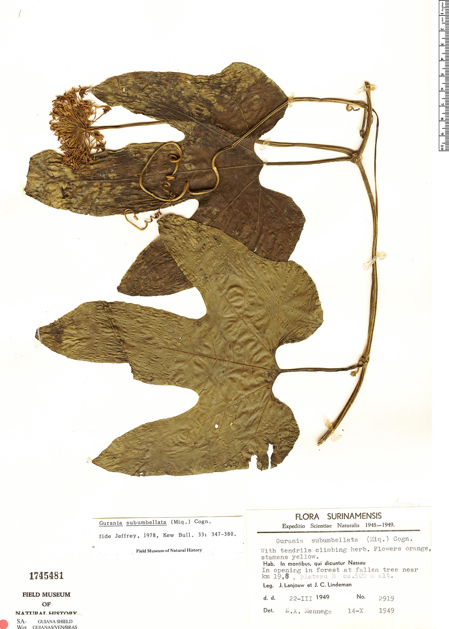 Specimen: Gurania subumbellata