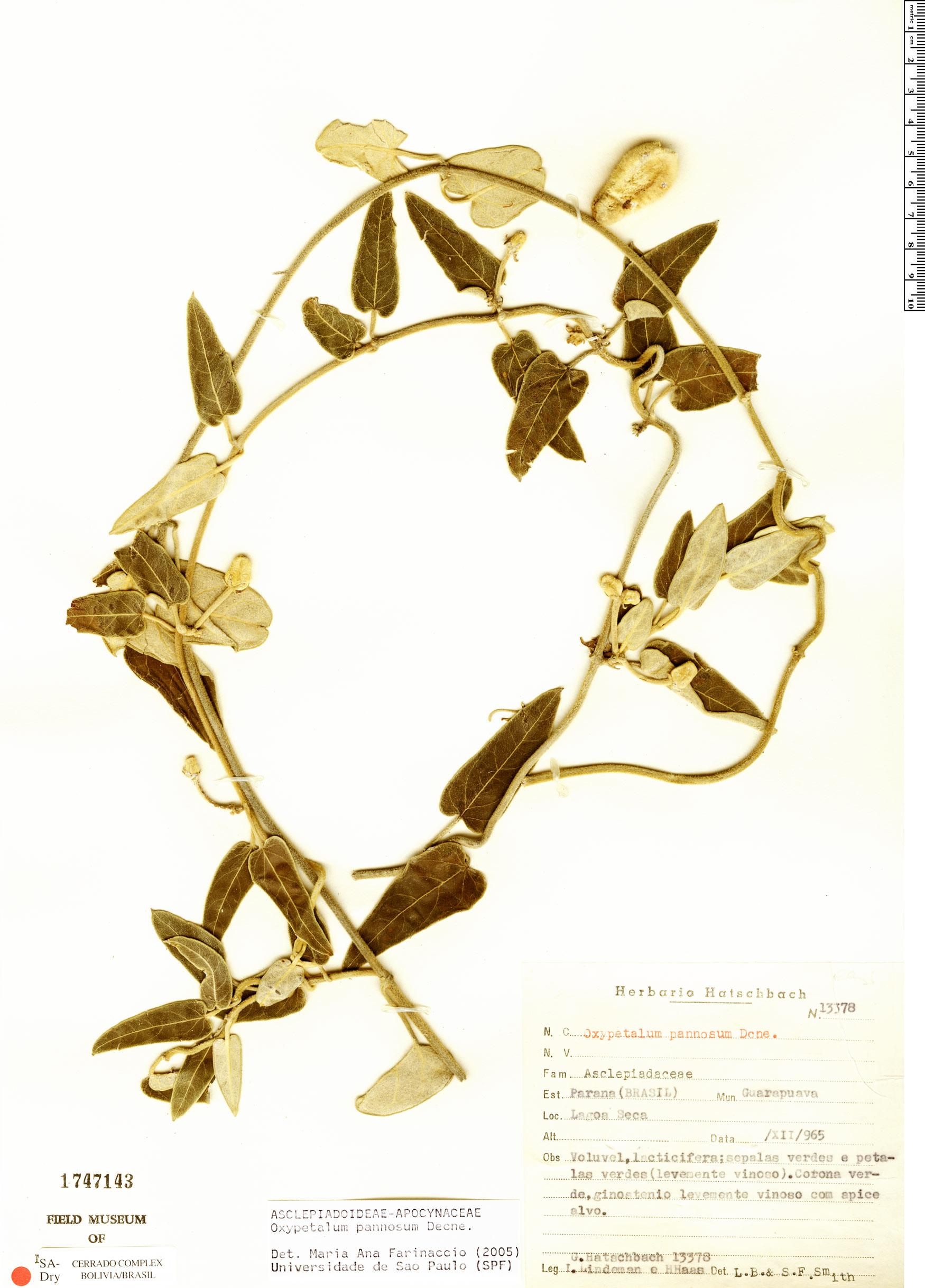 Specimen: Oxypetalum pannosum