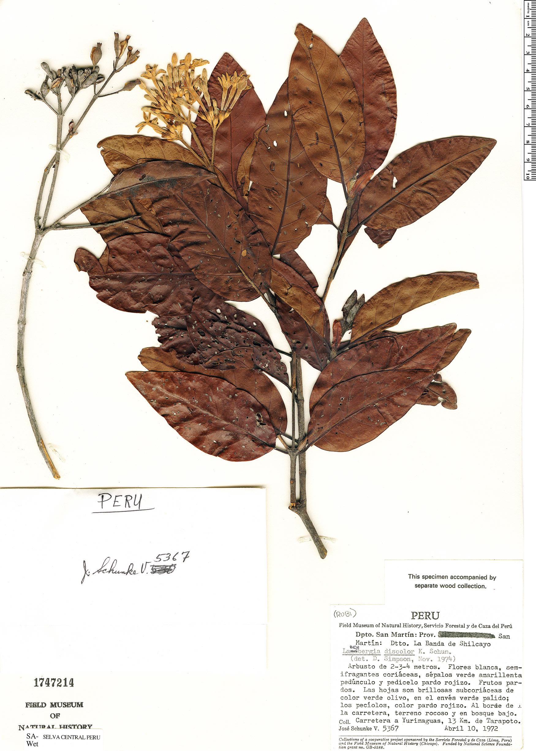 Specimen: Ladenbergia discolor