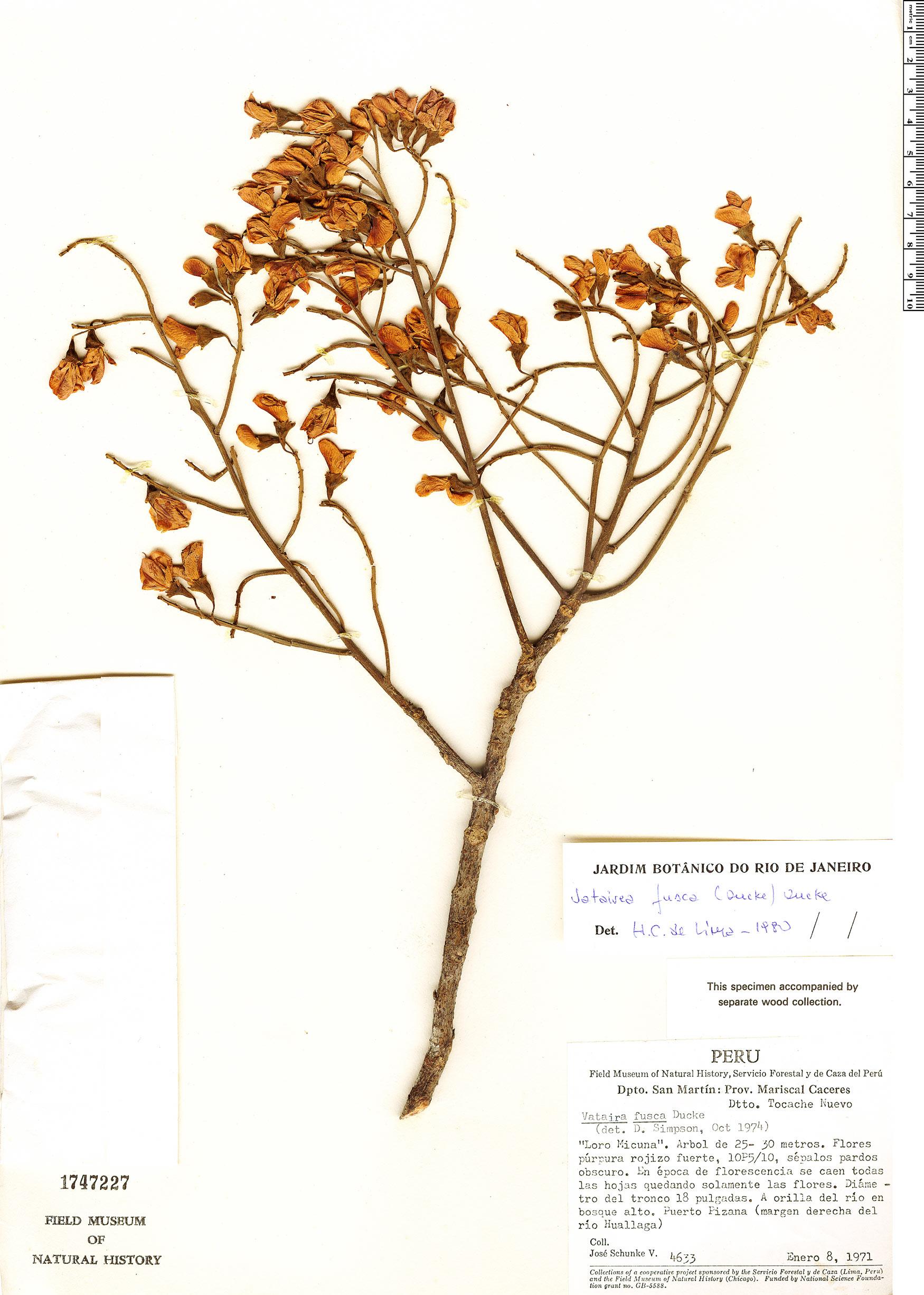 Specimen: Vatairea fusca