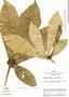 Aegiphila cuneata Moldenke, Peru, J. Schunke Vigo 1337, F