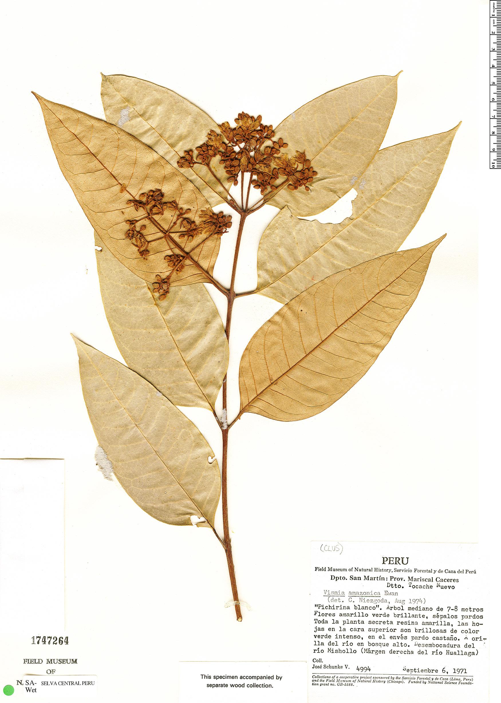Espécimen: Vismia gracilis