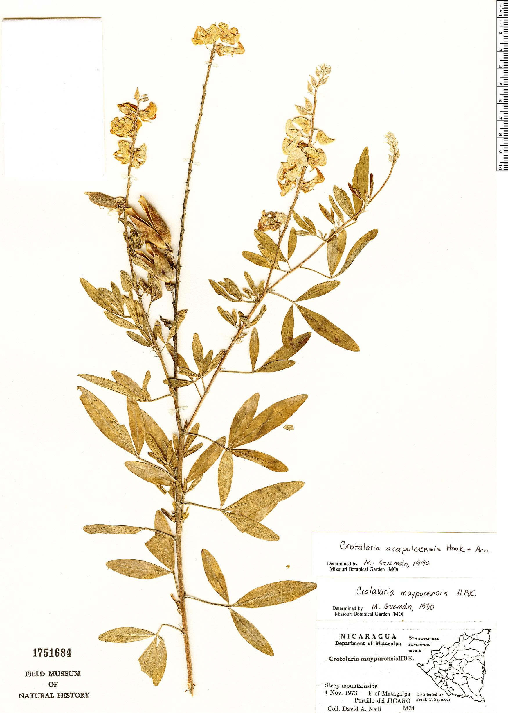 Espécimen: Crotalaria acapulcensis