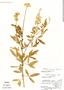 Crotalaria acapulcensis, Nicaragua, D. A. Neill 6434, F