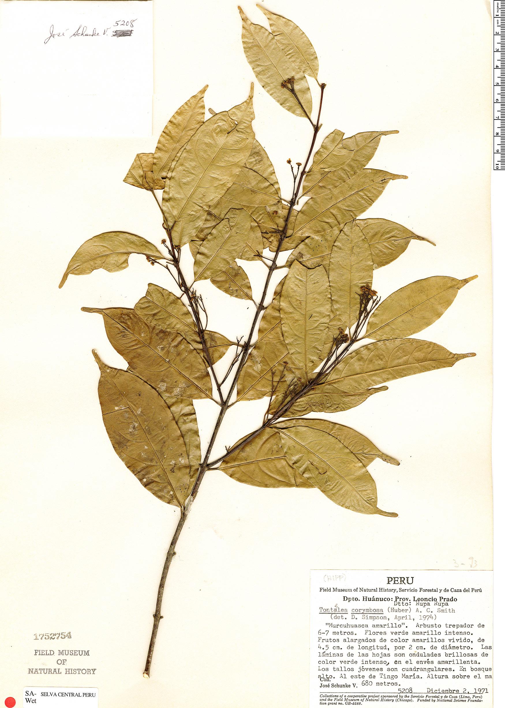 Espécimen: Tontelea corymbosa