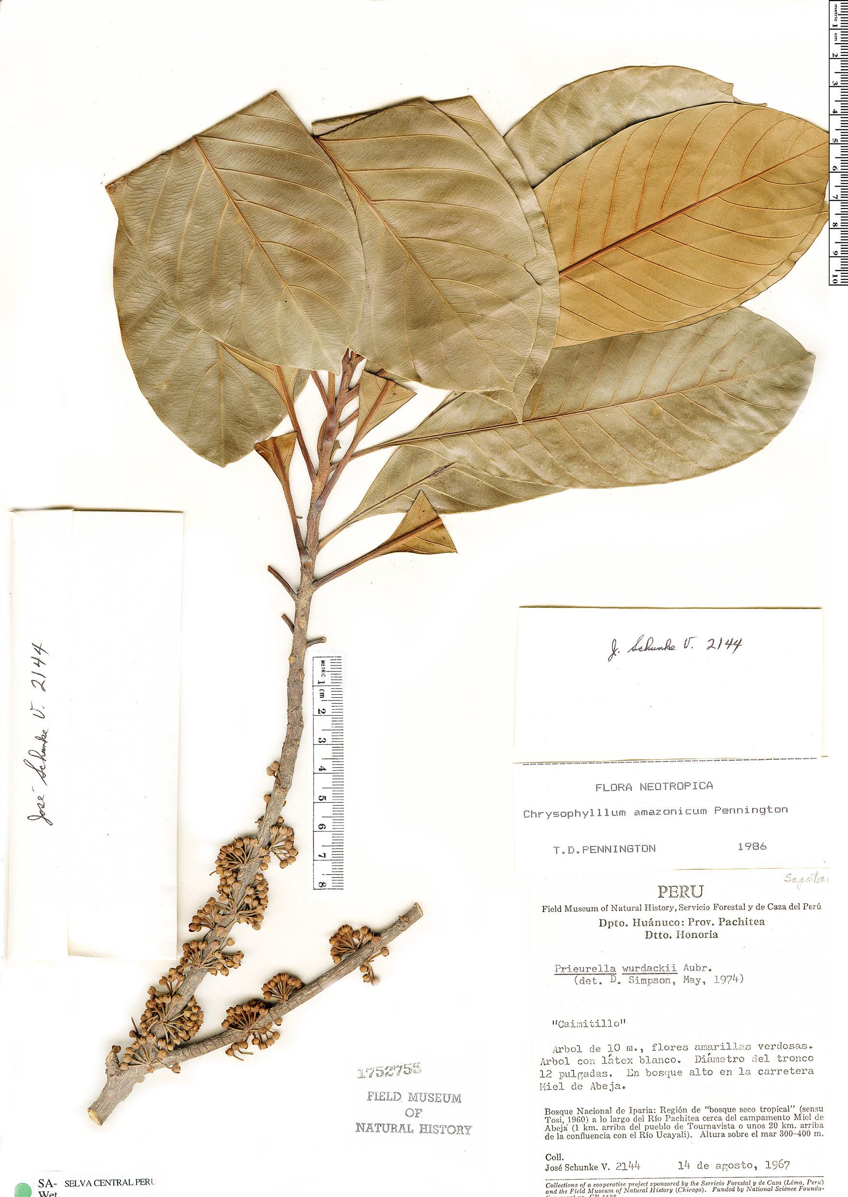 Specimen: Chrysophyllum amazonicum